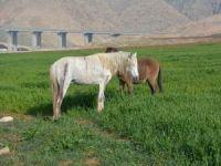 Silahla vurulan atlar tedavi edilmeyi bekliyor