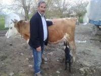 İnek, yavru keçiye annelik yapıyor