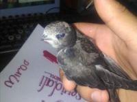 Evin bahçesinde ebabil kuşu bulundu