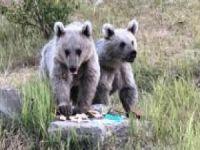 Nemrut Dağı'ndaki bozayı yavruları çöpten beslenirken görüntülendi