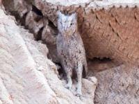 Elâzığ'da boynuzlu baykuş görüldü