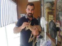 Siirt'te bulunan ceylanı yavrusu koruma altına alındı
