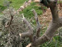 Siyonist çeteler Filistinlilerin arazi ve zeytinliklerine saldırdı