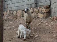 Yeni doğan 6 ayaklı kuzu görenleri şaşırtıyor