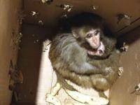 Şırnak'ta nesli tükenme tehlikesi altında olan 4 örümcek maymunu ele geçirildi