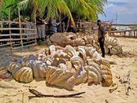 Filipinler'de 25 milyon dolar değerinde 200 ton dev midye kabuğu ele geçirildi