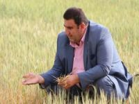 Kuraklığın vurduğu ekinler tarlada kurumaya başladı