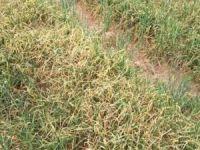 Şırnak'ta kuraklık tarlalarda etkisini göstermeye başladı
