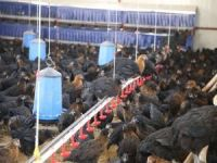Batman'da üç tavukçuluk tesisi kuruldu