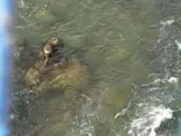Şırnak'ta Dicle Nehri'nde Su Samuru görüntülendi