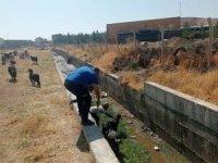 Atık su kanalına atlayan 50 keçiyi itfaiye ekibi kurtardı