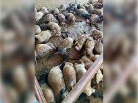 Sokak köpekleri 40 küçükbaş hayvanı telef etti