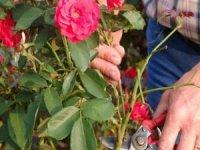 Gül çiçeğinin alım fiyatı açıklandı