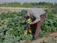 Kabak hasadına devam eden çiftçiler destek bekliyor