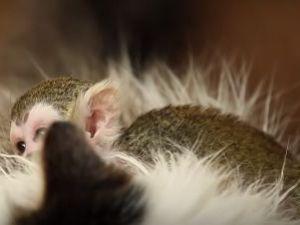 Yavru maymun sıcaklığı bir kedinin tüylerinde buldu